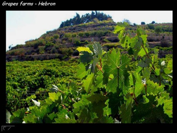 Grape Farms in Al Khalil - Palestine